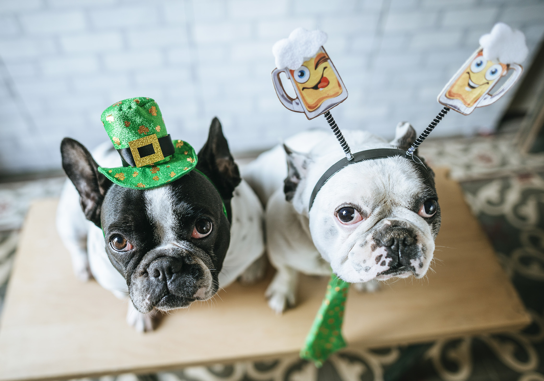 French Bulldogs on St, Patrick's Day